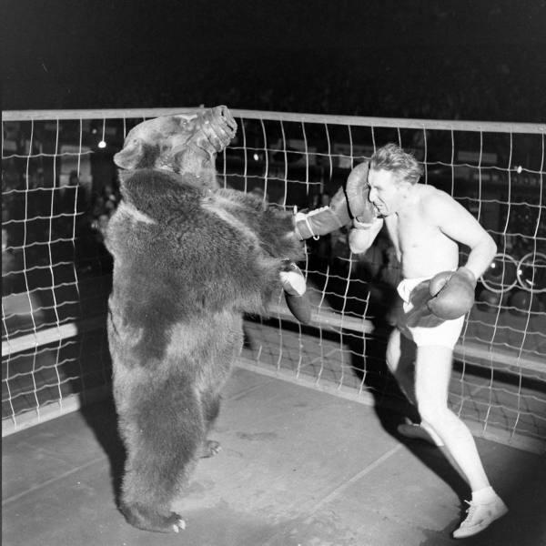 homme versus ours combat de boxe