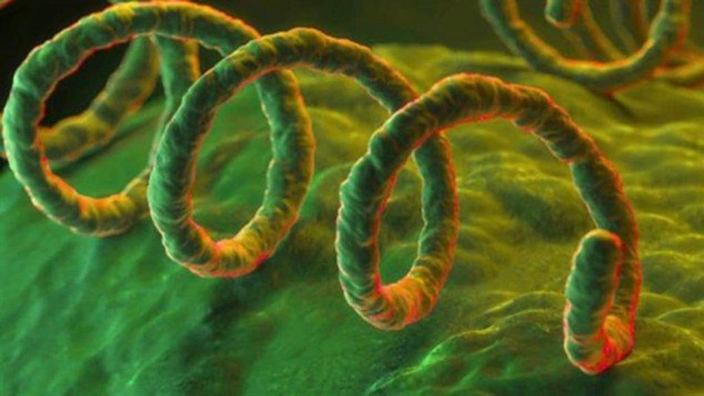 syphilis bactérie sexuellement transmissible